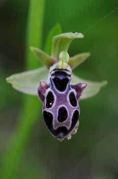 Bee-Orchid: Ophrys/Cyprus//photo Jan Koeman - # 106613