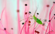 leaf hopper in pink flowery field