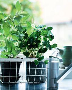 Sådan lykkes du med krydderurter i vindueskarmen - Boligliv