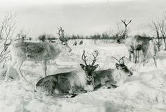 Meyer, Elisabeth Close-up of three reindeer on a snowcovered plain Gelatin silver print, baryta Swedish Interiors, Gelatin Silver Print, Vintage Images, Free Stock Photos, Animals And Pets, Reindeer, Beast, Moose Art, Museum
