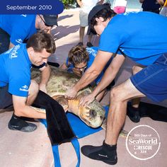 After a successful rescue and four months of care from SeaWorld experts, this 320-pound loggerhead sea turtle gets a helping hand from the rescue team to return him to the wild. #365DaysOfRescue