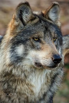 Necessary by Scott Denny on Wolf [Canis lupis] The gray wolf, also known… Wolf Photos, Wolf Pictures, Animal Pictures, Beautiful Wolves, Animals Beautiful, Cute Animals, Wolf Spirit, My Spirit Animal, Tier Wolf