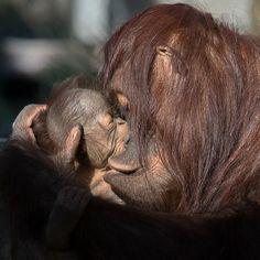 Bornean orang josie and gojo feb 22 2016 - Photo Credit:  Dave Parkinson/Tampa's Lowry Park Zoo - cautiverio