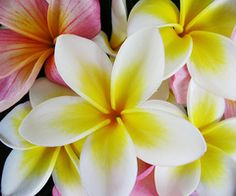 Plumerias. One of my favorite flowers. They are perfect and smell wonderful ......