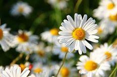 Margaridas, Branco, Flor, Face, Flores