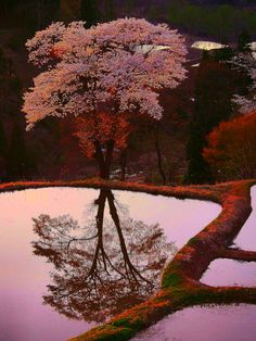 Cherry tree reflected in rice field, Niigata, Japan.