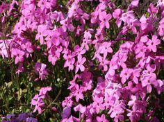 Phlox stolonifera is a wonderful weed suppressor for shady spots.