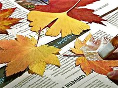 """Mod Podge on fall leaves.  Pam says """"It's like magic!  Your leaf becomes flexible and supple again, and the original color reappears! And your leaf will last and last for years!""""  If this is true I need to find myself some Mod Podge!"""
