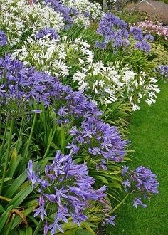 Jardins agapanthe - Blue and white Agapanthus