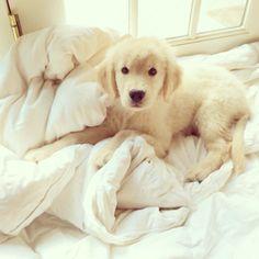 Golden retriever #puppy #goldenretriever