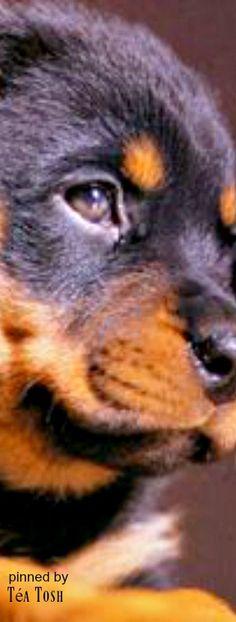 ❈Téa Tosh❈ Rottweiler puppy