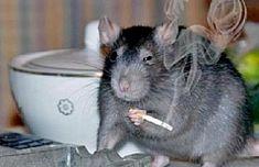 Expertos llegaron hasta el lugar para investigar si habían sido los roedores quienes efectivamente habían consumido la más de media tonelada de marihuana faltante.
