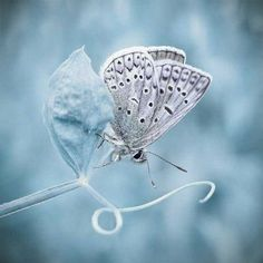 Free desktop wallpapers and backgrounds with Delicate, blue flower, butterfly, flower, white and black butterfly. Wallpapers no. Papillon Butterfly, Butterfly Kisses, White Butterfly, Butterfly Flowers, Beautiful Butterflies, Blue Flowers, Madame Butterfly, Butterfly Pictures, Flowers Nature