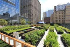 """Below New York City's skyscrapers, 8-foot tall okra plants tower over an impressive array of vegetables, herbs and flowers growing on a rooftop farm situated just 100-feet from the kitchen of Riverpark Restaurant. Lunch and dinner menus state that meals are made with """"produce grown right here at the Riverpark Farm."""" In fact, the 15,000-square-foot urban farm on East 29th Street supplies 100 percent of the restaurant's organic herbs, lettuce, and flowers."""