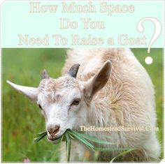 How Much Space Do You Need To Raise a Goat Homesteading  - The Homestead Survival .Com