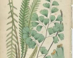 Maidenhair Fern Print Reproduction Antique by MarcadeVintagePrints