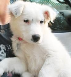 Willa is an adoptable Australian Shepherd Dog in Orlando, FL. Please email for an adoption application. We do not adopt out of state. Due to many bounced checks, we now require that adoption donations...