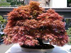 モミジ盆栽-japanese-maple-bonsai-tree-011.JPG