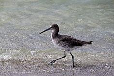 Willet Strolling Along Naples Beach