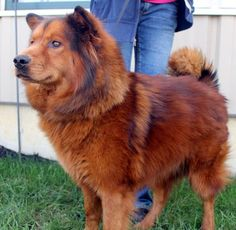"#OHIO ~ Gypsy is a Spayed 3yo Chow mix. Don't allow the breed to turn you away as she's V sweet & loving. She doesn't have the ""typical"" traits that people often attribute to Chows. She's  microchipped, UTD vaccines dewormed & need of a loving #adopter / #rescue at the HUMANE SOCIETY OF PREBLE COUNTY  951 S Barron St  #Eaton OH 45320 Ph 937-456-7387"