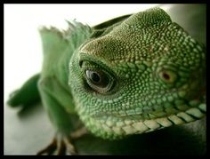 Chinese Water Dragon by ~kbearne on deviantART - original ancestors of the Laced Water Dragon Pet, Chinese Water Dragon, Cute Reptiles, Reptiles And Amphibians, Mammals, Tortoise Turtle, Beautiful Dragon, Bearded Dragon, Animal Photography