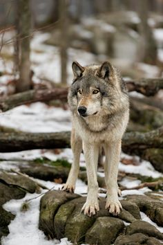 """beautiful-wildlife: """" grey wolf on Lookout by Daniel Parent """" Canis Lupus, Wolf Photos, Wolf Pictures, Beautiful Creatures, Animals Beautiful, Cute Animals, Wolf Spirit, Spirit Animal, Tier Wolf"""