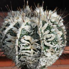 Fotka: astrophytum ornatum cv. hannya