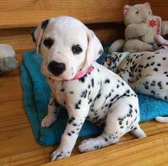 Dolmaition puppy