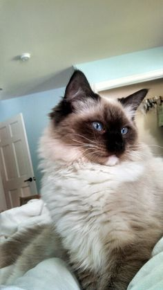 Theo Was Looking Rather Sad About Not Being Able To Go Outside On A Sunny Day Ragdoll Kittens And Kittens6 Month Oldsgo