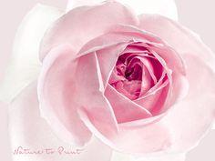 Romantisches Rosenbild in Porzellanrosa Katharina Bora