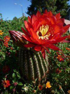 Desert+Cactus+Flowers | Cactus Flowers | Arizona Desert