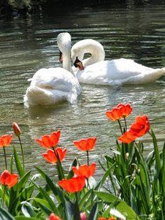 Gorgeous . Swan Love, Beautiful Swan, Beautiful Birds, Animals Beautiful, Nature Animals, Animals And Pets, Cute Animals, All Birds, Little Birds