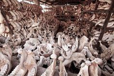 Warehouse full of skulls of elephants killed by poachers: http://www.dailymail.co.uk/news/article-3242343/Voices-Savannah-Poignant-images-fragile-existence-Africa-s-wildlife-face-extinction-years-money-hungry-poachers.html …