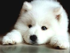 4 Dog Puppy Samoyed Greeting Notecards/ Envelopes Set. $6.99, via Etsy.