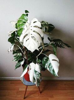 Variegated split leaf philodendron -Amazing leaf of Monstera borsigiana variegata! Green Plants, Tropical Plants, Cactus Plants, Cactus Art, Potted Plants, Monstera Deliciosa, Best Indoor Plants, Outdoor Plants, Indoor Cactus
