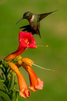 Humming Bird - Early morning