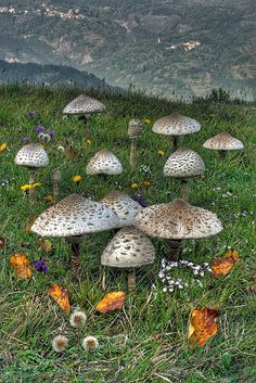 The Parasol Mushroom (Macrolepiota procera) is a fairly common species on well-drained soils. It is found solitary or in groups and fairy rings in pastures and occasionally in woodland. Globally, it is widespread in temperate regions.