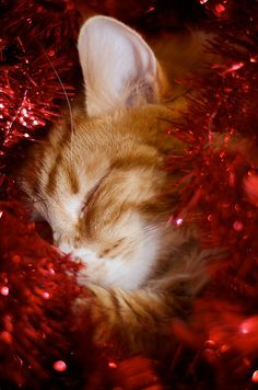 Merry Christmas!     Christmas Kitty by Aimee~Lou on Flickr.