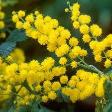 Картинки по запросу мимоза цветок