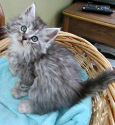Polydactyl Maine Coon kittens http://www.mainecoonguide.com/maine-coon-personality-traits/