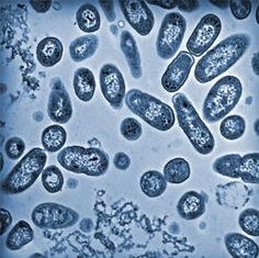 bacterial cell under a microscope - Google Search