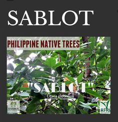 """SABLOT (Litsea glutinosa) This fast-growing tree is great for plantation. Seeds contain aromatic oil, gum from its bark is used to make white soap, and fibers can be used to make ropes or for paper pulp. It also has a lot of medicinal values.  """"Protect our trees, our forests- our source of life!""""  #PhilippineNativeTrees #NativeTrees #Rainforestation #KeepingitNative #ForestProtection  Source: Philippine Native Trees 202:Up Close and Personal All About Plants, Forest Plants, Fast Growing Trees, Wood Tree, Flowering Trees, Ropes, Trees To Plant, Forests, Botany"""