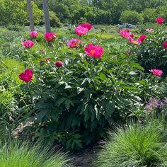 Paeonia 'Scarlett O'Hara' Scarlett O'Hara Peony from Midwest Groundcovers Scarlett O'hara, Apple Tree, Perennials, Peonies, Landscape, Plants, Scenery, Plant, Perennial