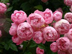 raubritter rose | Ramblerrose 'Raubritter' - Rosa 'Raubritter' - Baumschule Horstmann