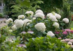 Hydrangea arborescens 'Abetwo' INCREDIBALL(R) HYDRANGEA PP20571 from Greenleaf Nursery