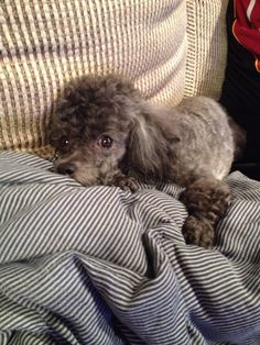 Chloe Red Poodles, Mini Poodles, Animals Beautiful, Cute Animals, Cavapoo Dogs, Black Standard Poodle, Very Cute Puppies, Poodle Cuts, Pet Toys