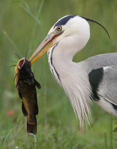 Great Blue Heron with lunch; once saw this happen live at the water's edge; amazing!