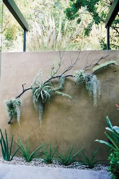 Attached to the tails of Spanish moss and draped over a branch, tillandsia becomes art.