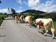 Almabtrieb, Brixen im Tale Austria, Animals, Tour Operator, Destinations, Viajes, Animales, Animaux, Animal, Animais