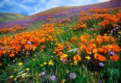 Antelope Valley California Poppy Reserve - An incredible display of wildflowers